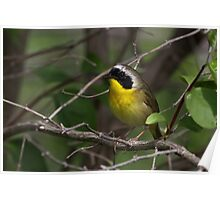 Common Yellow Throat Warbler 3 Poster