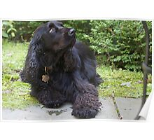 Well-trained Field Spaniel Poster