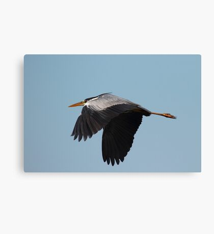 gray heron Canvas Print