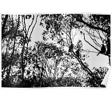 Currawongs Poster