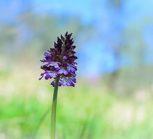 Orchis purpurea, Acquedotto Romana, Spello, Umbria, Italia by Andrew Jones