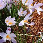 crocus flowers and bumblebee by gaylene