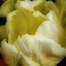 Tulip Unfolding by Barbara  Brown