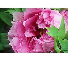 Pink April Tree Peony Photographic Print