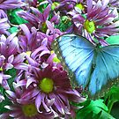 Peleides Blue Morpho  by Trish Meyer