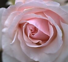 Pink And White Rose by Joy Watson