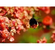 Red Tailed Bumble Bee Photographic Print