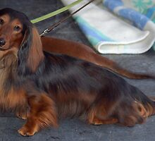 Cute Dachshund (Miniature Wire Haired)
