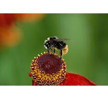 Bee on Echinacea Photographic Print