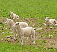 Alert Lambs by Kat Simmons