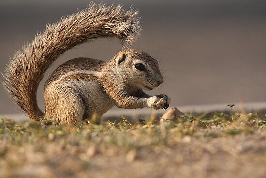 Ground Squirrel  II by ChrisCoombes