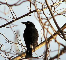 Currawong by Kitsmumma
