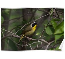 Common Yellow Throat Warbler 4 Poster