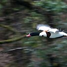 Shelduck by Country  Pursuits