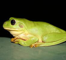 Green Tree Frog by Daniel Rayfield