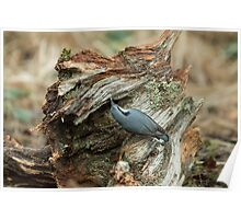 Eurasian Nuthatch and Seed Poster