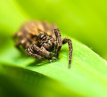 Wolf Spider by Tony Allen