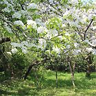 Pear and Apple Blossom by Dennis Melling