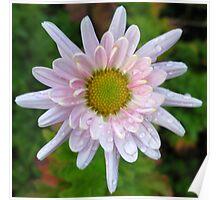 Pale Pink Chrysanthemum Poster