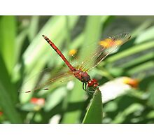 Red Skimmer or Firecracker Dragonfly Photographic Print