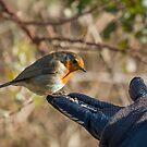 Robin Feeding from Hand by Sue Robinson