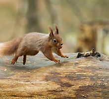 Red Squirrel Leaping by Sue Robinson