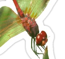 Red Skimmer or Firecracker Dragonfly Isolated Sticker