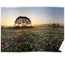 Morning on narcissus field Poster