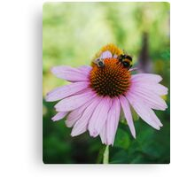 Echinacea Purpurea with Bees 2 Canvas Print