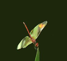 Red Skimmer or Firecracker Dragonfly Isolated by taiche