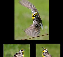 The Eastern Meadowlark by DigitallyStill