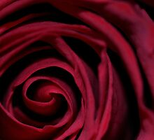 Red Rose by Paulie-W