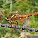 Female Red Skimmer Dragonfly  by taiche