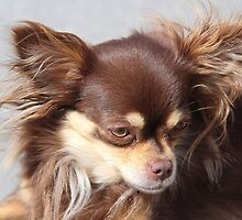 Beautiful Chihuahua (Smooth Coat)