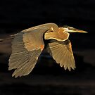 051109 Great Blue Heron by Marvin Collins