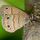 Little Wood Satyr Butterfly by DigitallyStill