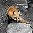 Red Fox - Selective Coloring by Vickie Emms