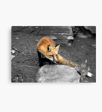 Red Fox - Selective Coloring Canvas Print