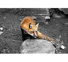 Red Fox - Selective Coloring Photographic Print