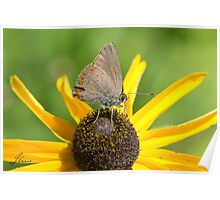 Coral Hairstreak Butterfly IMG_2366  Poster