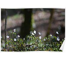 Wood anemones Poster