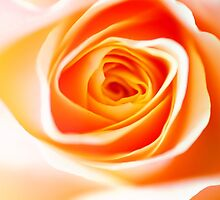 Orange Rose by JennyRainbow