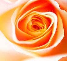 Orange Rose by JennyRainbow