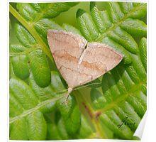 Pale Phalaenostola Litter Moth- IMG_0586 Poster