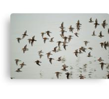 Dunlin in flight Canvas Print