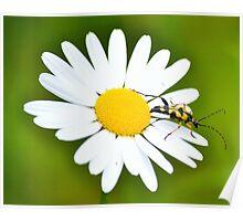 Longhorn beetle on daisy Poster