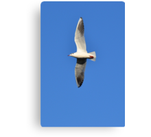 Black headed gull in flight Canvas Print