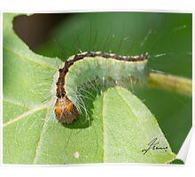 Splendid Dagger Moth Caterpillar  Poster