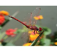Red Skimmer or Firecracker Dragonfly With Lantana Background Photographic Print