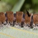 Fingered Dagger Moth Caterpillar by DigitallyStill